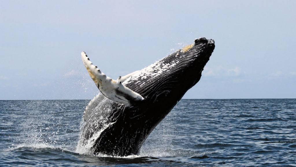 Humpback whale breaching off of Maui