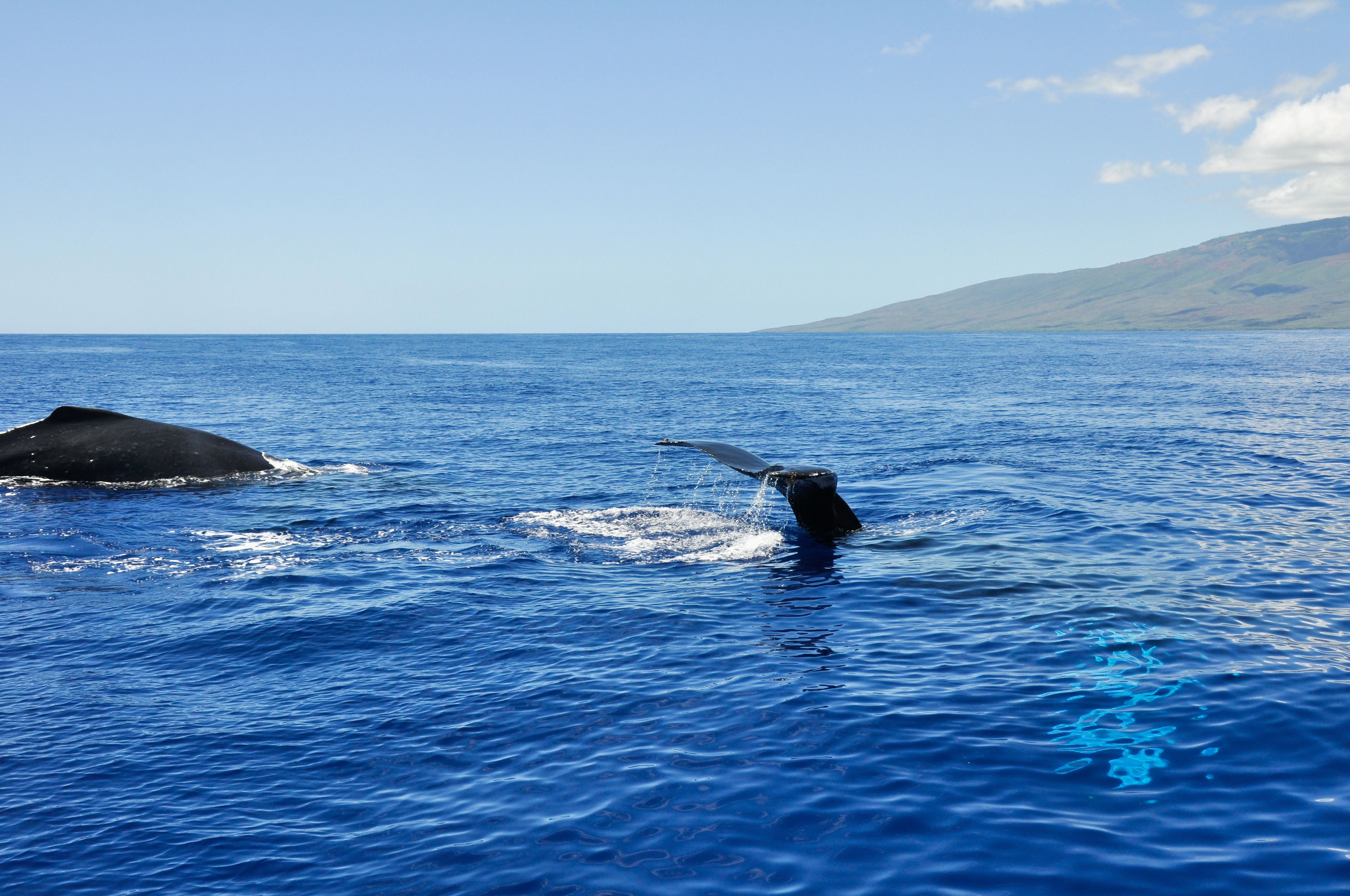 whale tail maui hawaii