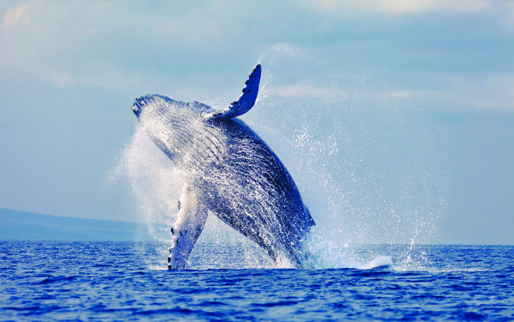 Humpback whale breaching off of Maui