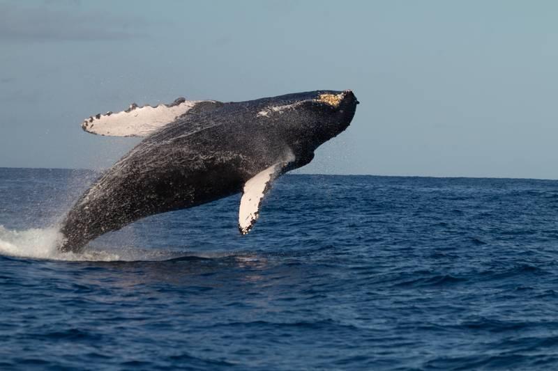 humpback whalehumpback whale