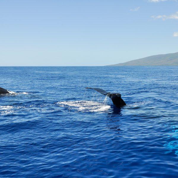Humpback Whales in Lahaina, Maui, Hawaii